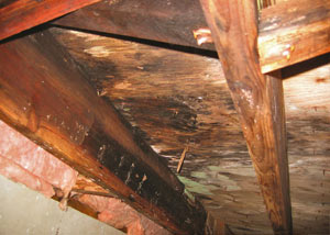 Extensive crawl space rot damage growing in Minotola