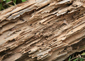 Termite-damaged wood showing rotting galleries outside of a Pleasantville home